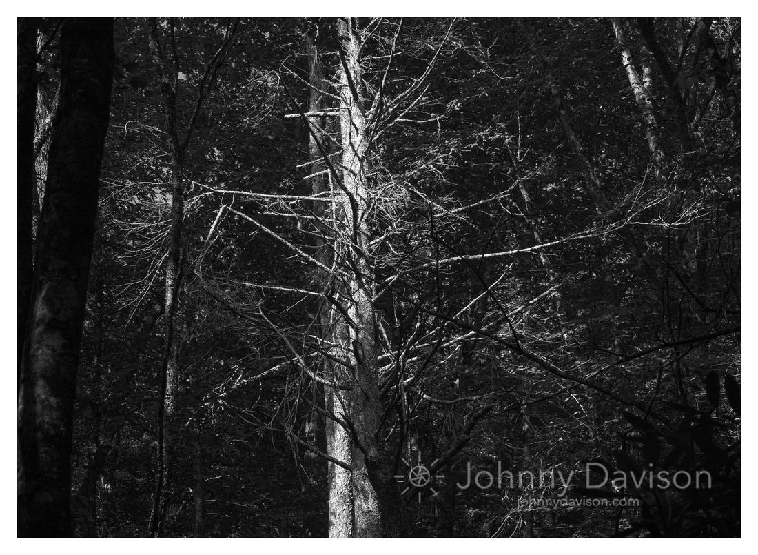 Eastern Hemlock, Morning, Nantahala National Forest, NC