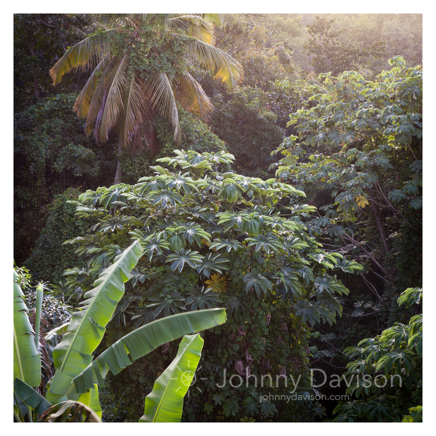 Tropical Foliage, Late Afternoon, Marigot Bay, St. Lucia