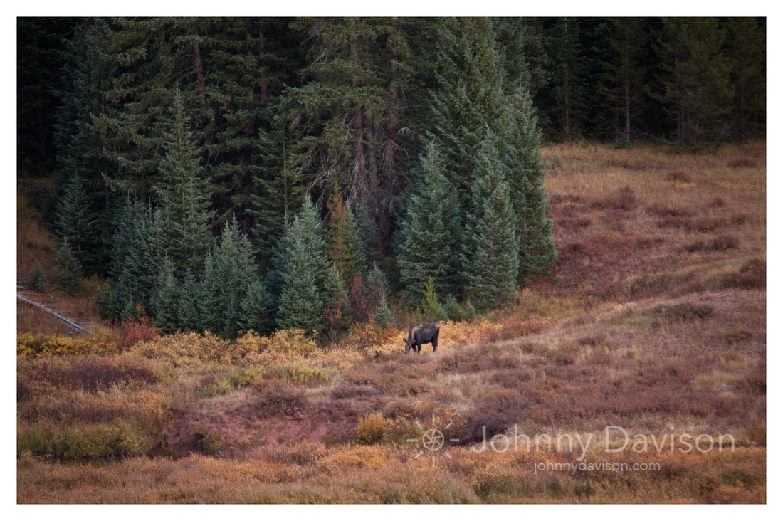 Moose, After Sunset, Eagles Nest Wilderness, White River National Forest, CO
