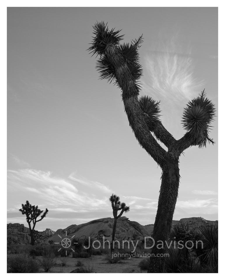 Joshua Trees, Morning, Joshua Tree National Park, CA