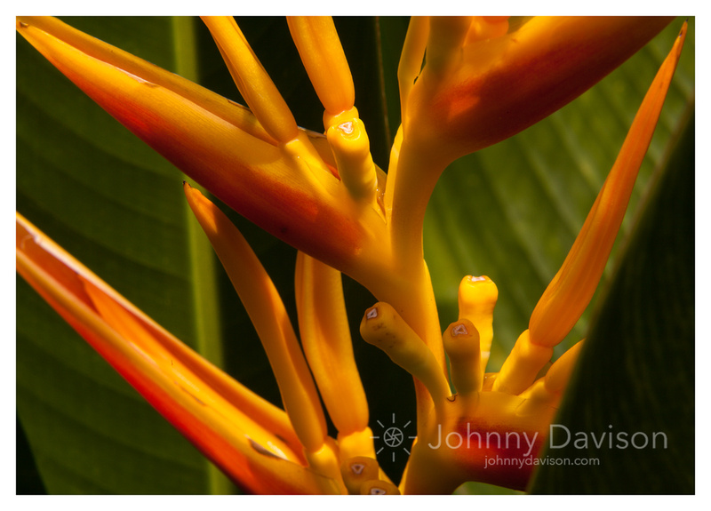 Bird of Paradise, Marigot Bay, St. Lucia
