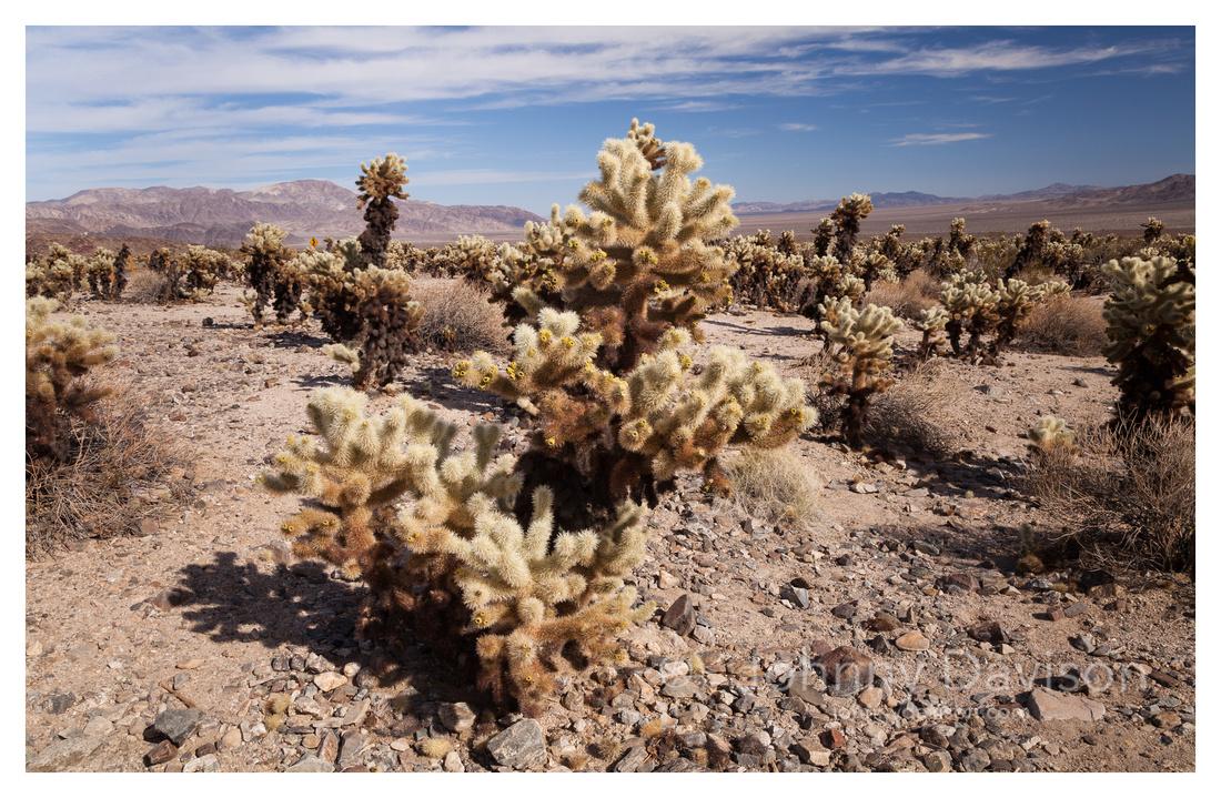 Cholla Cactus, Garden, Joshua Tree National Park, CA